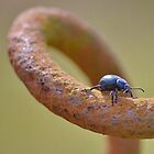 Oil Beetle by relayer51