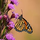Monarch and Blazing Star 2013-1 by Thomas Young