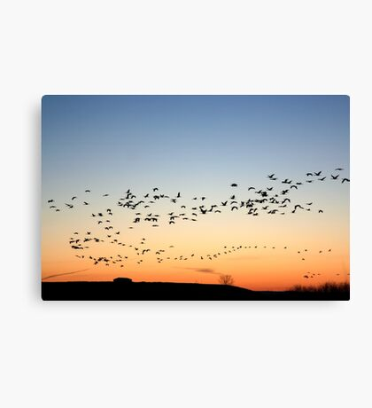 Grey cranes returning to their sleeping quarters at sunset Canvas Print
