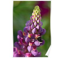 Buzzzzzzzy Bee on Lupine Poster
