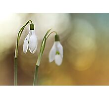 Snowdrops warming up a bit... Photographic Print