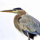 Great Blue Heron by SuddenJim