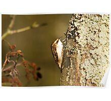 Tree Creeper Poster