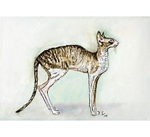 A Little Cornish Rex Cat Photographic Print