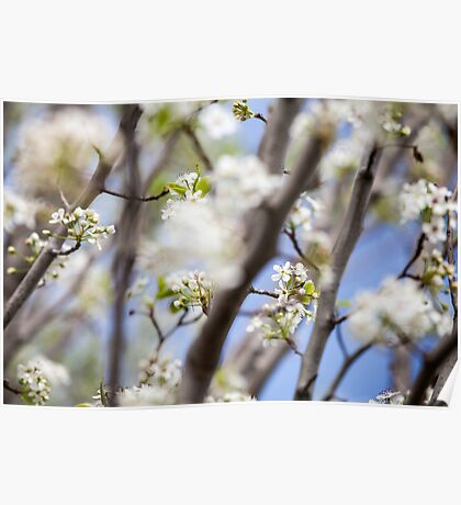 White Flowers on a Tree Poster