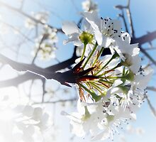 SUNSHINE AND SPRING BLOSSOMS by Sandra  Aguirre