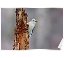 Red Bellied Woodpecker Poster
