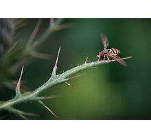 Hoverfly Landing Photographic Print