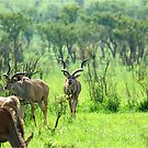 THE BEAUTY OF NATURE  -  KRUGER KUDU LANDSCAPE - KRUGER KOEDOE - LANDSKAP by Magaret Meintjes