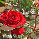 Soul of a Red Rose of Feb by Nira Dabush