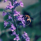 Bee on Purple Lobelia by Astrid Ewing Photography