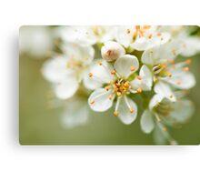 St Lucie Cherry Blossom Canvas Print