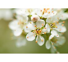 St Lucie Cherry Blossom Photographic Print