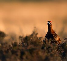 Red Grouse at Sunset by KarenMcDonald