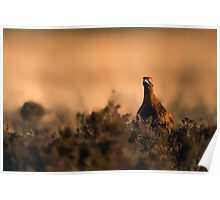 Red Grouse at Sunset Poster
