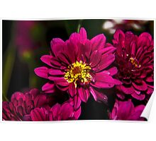 Chrysanthemum 1368 Poster