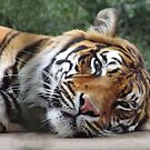 Tiger at Welsh Mountain Zoo by Michaela1991
