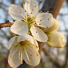 Apple Blossom by Michaela1991