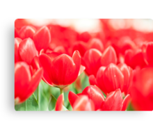 Tulip flowers in spring  Canvas Print