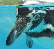 Humboldt Penguin at Welsh Mountain Zoo by Michaela1991