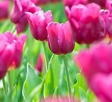 Pink tulip in spring time by kawing921