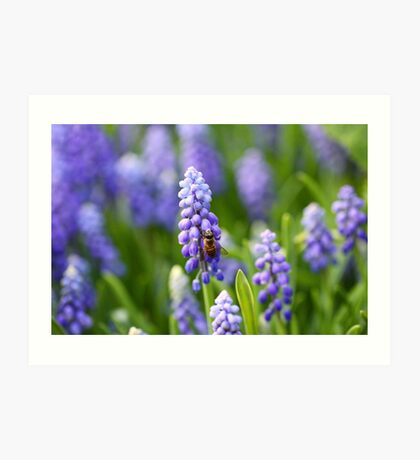 Grape hyacinth with bee in spring Art Print