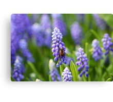 Grape hyacinth with bee in spring Canvas Print
