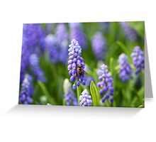 Grape hyacinth with bee in spring Greeting Card