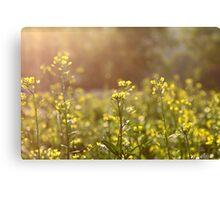 Rape flowers field under sunlight Canvas Print
