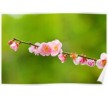 Plum blossoms blooming Poster