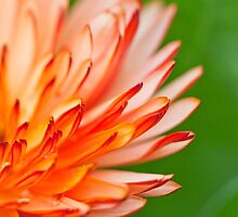 Orange flower petals, close-up shot. by kawing921