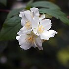 Philadelphus Blossoms by Astrid Ewing Photography