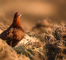 Red Grouse at Sunset II by KarenMcDonald