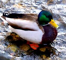 Mr. Mallard by ©The Creative  Minds