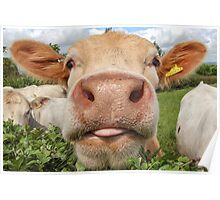 Funny Cow Sticking Tongue Out Poster