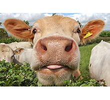 Funny Cow Sticking Tongue Out Photographic Print