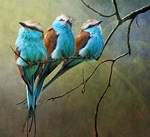 racquet tailed rollers- blue birds of africa by R Christopher  Vest