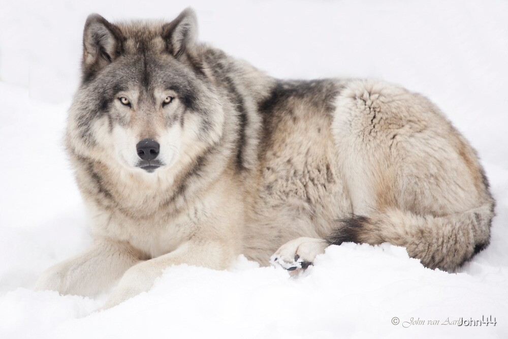 ..Wolf..singing in the cold by John44