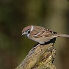 Tree sparrow - III ( Passer montanus) by Peter Wiggerman