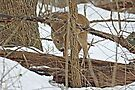 The Doe And The Snow - Odocoileus virginianus by MotherNature