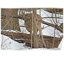 The Doe And The Snow - Odocoileus virginianus Poster