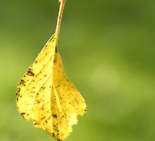 Beautiful leaf hanging from a spiderweb by FannyJo