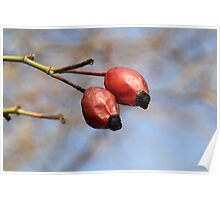 Red rosehip Poster