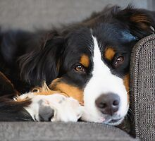 Bernese Mountain Dogs are super cute. by TheJill