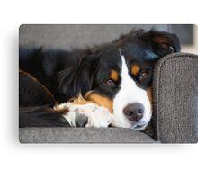 Bernese Mountain Dogs are super cute. Canvas Print
