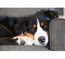 Bernese Mountain Dogs are super cute. Photographic Print