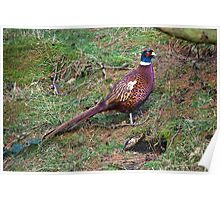 Ring Necked Pheasant Poster
