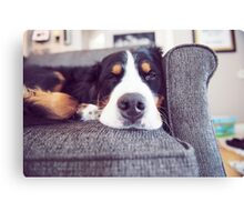 Sometimes Bernese Mountain Dogs just get lazy. Canvas Print