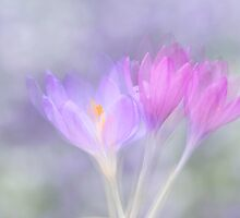Crocus by Lifeware