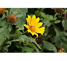 Yellow Flower and Bee Photographic Print